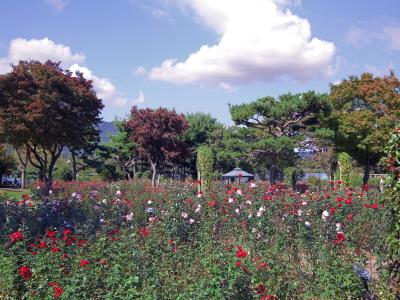 서울대공원 장미원에 45,000주의 가을장미가 활짝