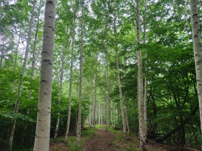 영양 죽파리 자작나무숲, 명품숲 본격화 시작